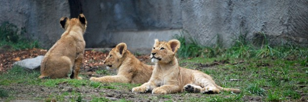 New Lion Cubs at Woodland Park Zoo