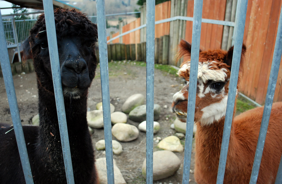 Cougar Mountain Zoo Alpacas