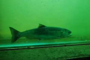 A fish swimming through the fish ladder.