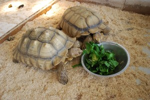 Tortoises at the Reptile Zoo