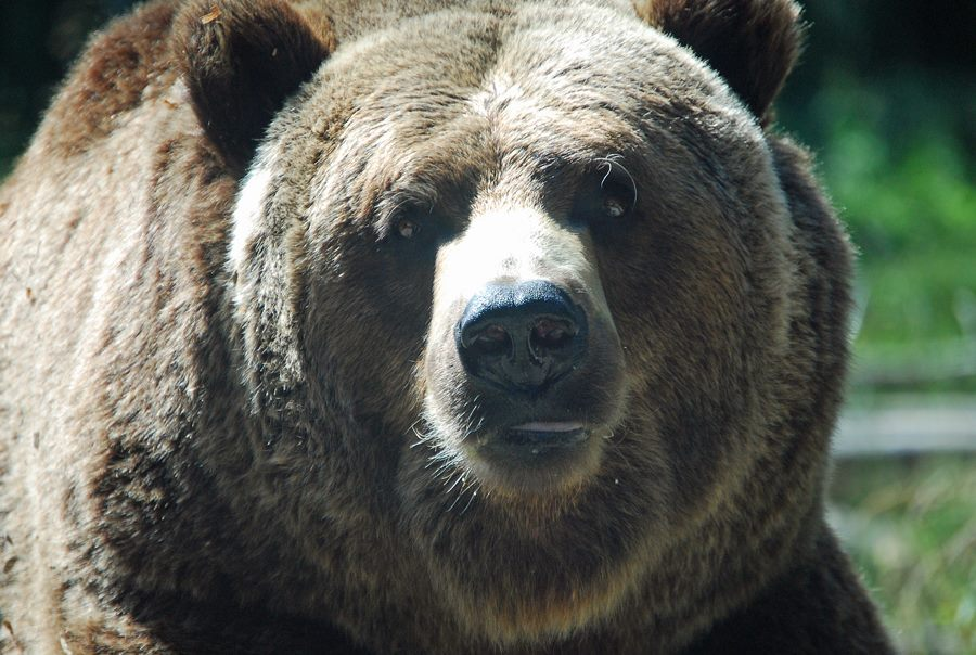 Woodland Park Zoo | Grizzly Bear