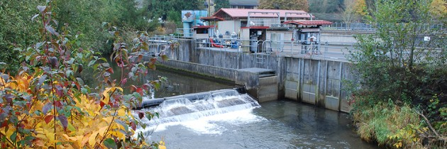 Issaquah Salmon Hatchery | A 'Must Visit' in the Fall