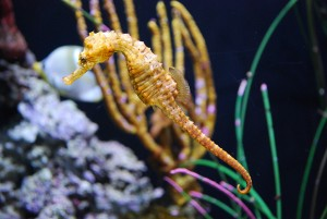 Seattle Aquarium | Sea Horse