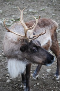 Issaquah Reindeer Festival | Cougar Mountain Zoo