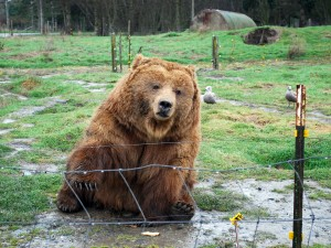 Olympic Game Farm | Waving Bear