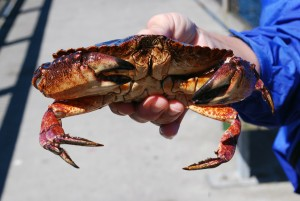 Red Rock Crab | Shilshole Bay Marina