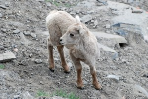 Baby Mountain Goat | Banff