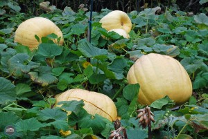 Magnolia Pumpkin Patch in Seattle