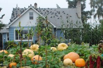 Magnolia Pumpkin Patch | Huge Pumpkins in Seattle