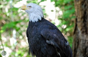 Northwest Trek Bald Eagle