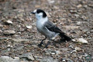 West Tiger #3 | Gray Jay