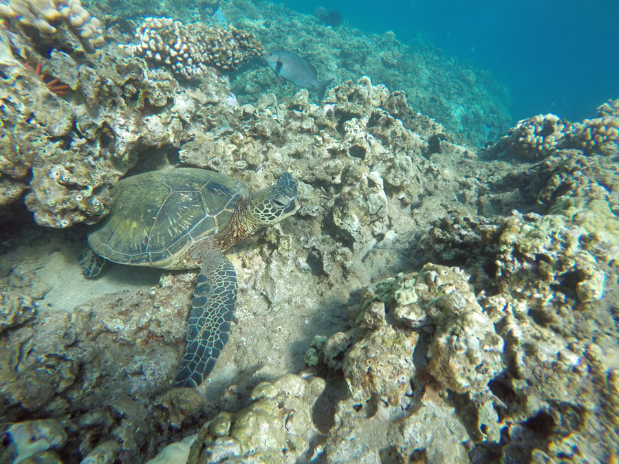 Honolua Bay Sea Turtle