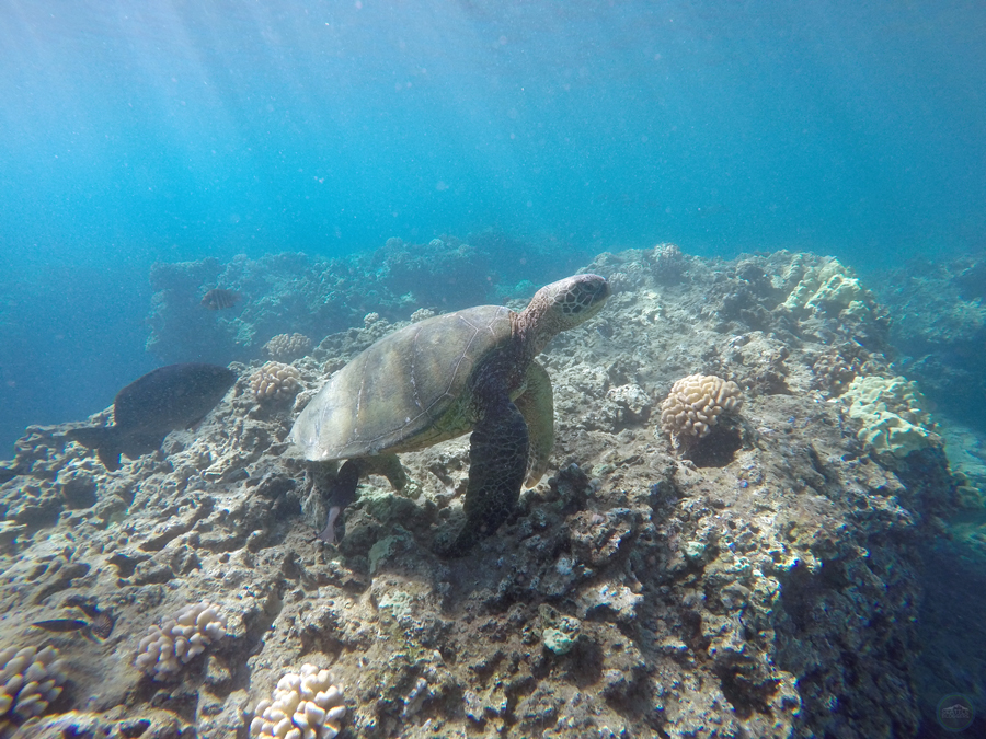 Honolua Bay Turtle
