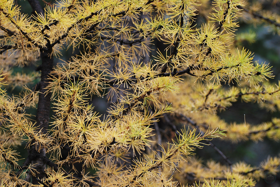 blue-lake-golden-larches