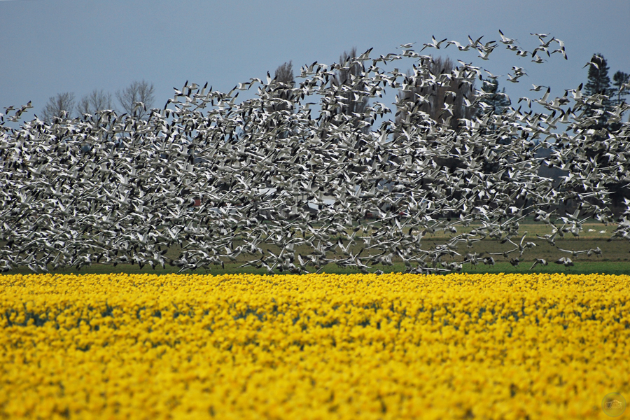 Skagit Valley Daffodils Snow Geese