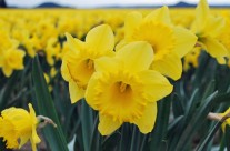 Skagit Valley Daffodils | The First Sign of Spring in Seattle