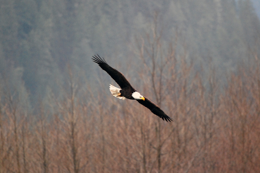 Skagit Valley Bald Eagles