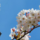 Best Time to See University of Washington Cherry Blossoms