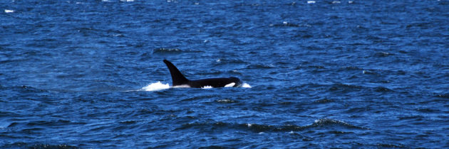 Seattle Whale Watching | Puget Sound Express
