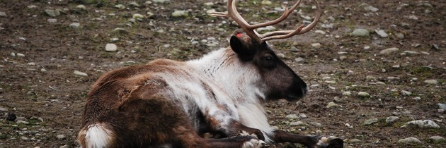 Issaquah Reindeer Festival at Cougar Mountain Zoo