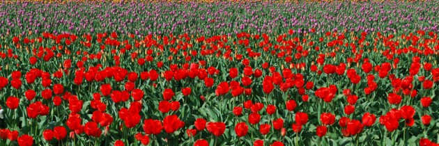 Skagit Valley Tulip Festival in Mt. Vernon