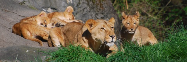 Lion Cubs at Woodland Park Zoo in Seattle