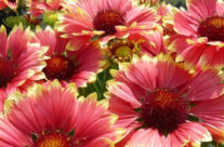 Five Popular Native Seattle Wildflowers